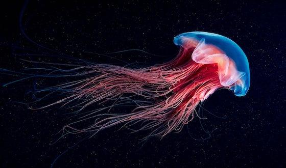 Costa Rica -Carol Aldi-Jellyfish